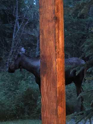 The Alaskan City Moose is a tricksy beast.